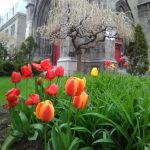 All these glorious colors after months of the white stuff is a pure delight.  Hybrid color tulips in front St-Pierre Apôtre church.