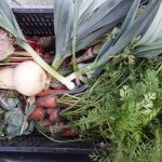 Freshly picked veggies from Chateau Ramezay on their way to an important resource men shelter, Acceuil Bonneau